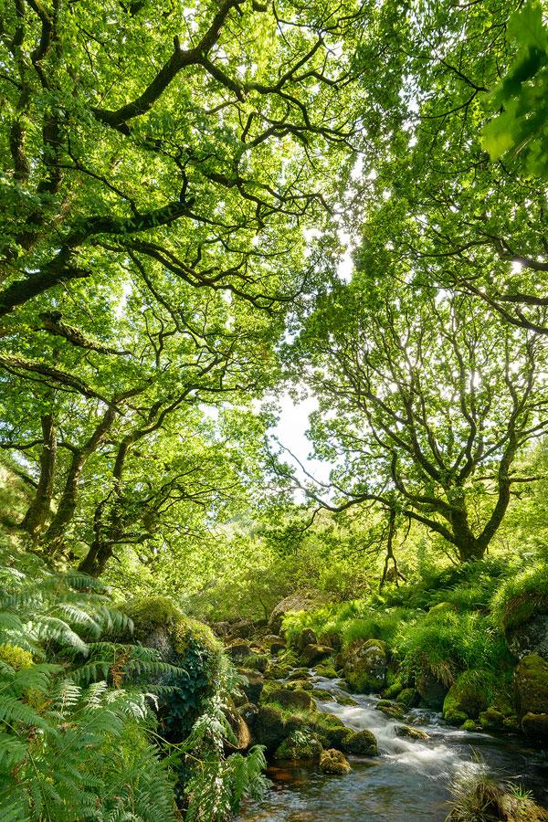 Oak Woodland on Dartmoor in Summer