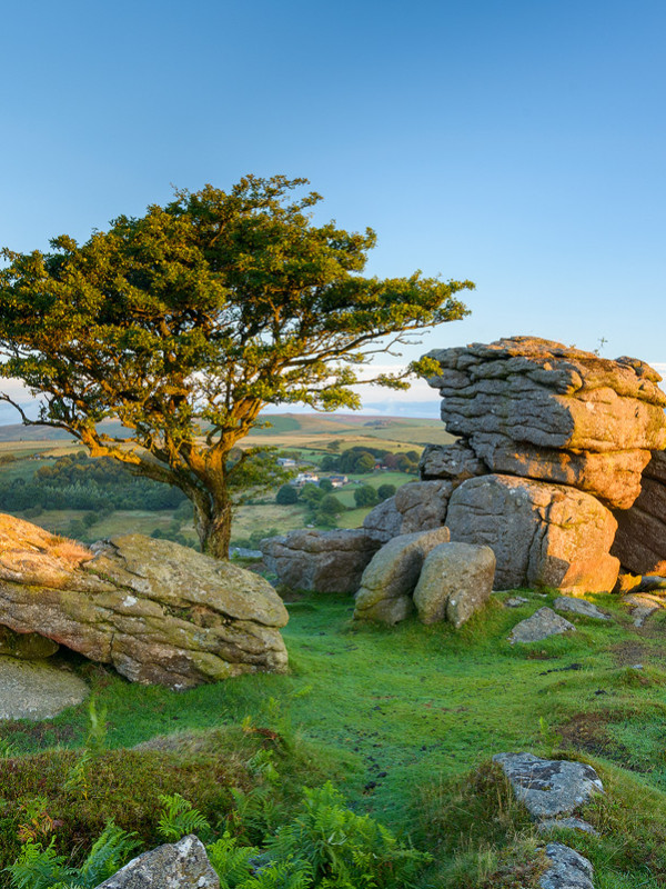 Iconic Hawthorn and Tor on Dartmoor