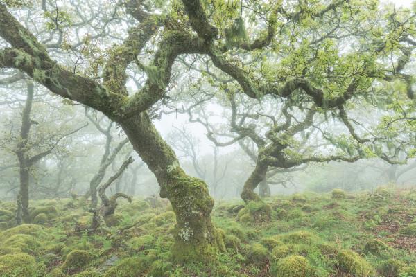 dartmoor woodland in mist