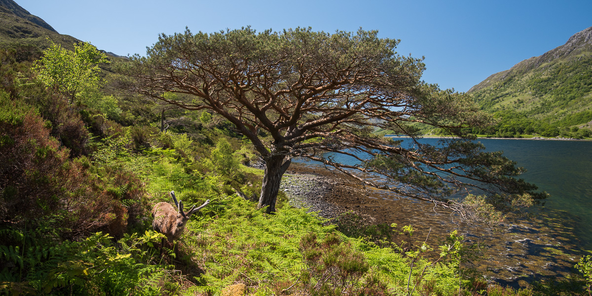 Some of the oldest Caledonian Pines line the route as well as some wildlife